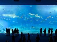 【沖縄本島】<美ら海水族館入館券つき>ちゃんぷるーチョイス レンタカー付!
