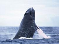 鯨博士と行く!お手軽半日ホエールウォッチング付ツアー 琉球サンロイヤルホテルステイ(4/4迄)