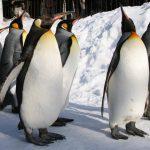 ペンギンのお散歩を間近で観察! 雪遊びの後は温泉でほっこり、冬しかできない北海道観光満喫プラン 2泊3日モデルコース