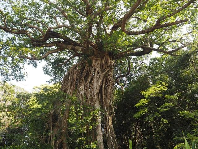 奥神社のアコウの大木
